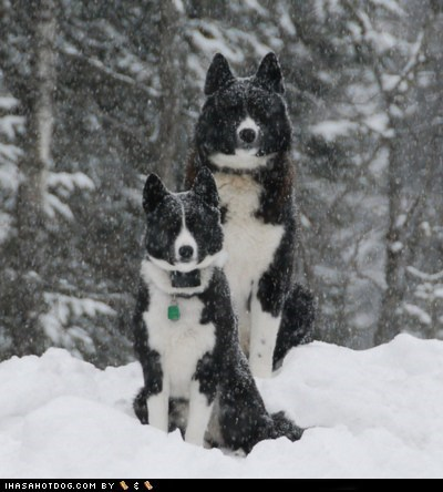 dogs,goggie ob teh week,hunting dog,karelian bear dog,snow