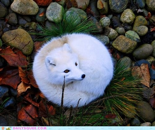 arctic fox cold winter furball squee