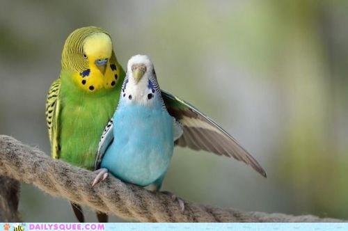 squee bird parakeets love birds cuddle beaks - 6414478592