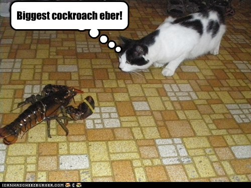 captions Cats cockroach dumb face off kitchen lobster mistaken