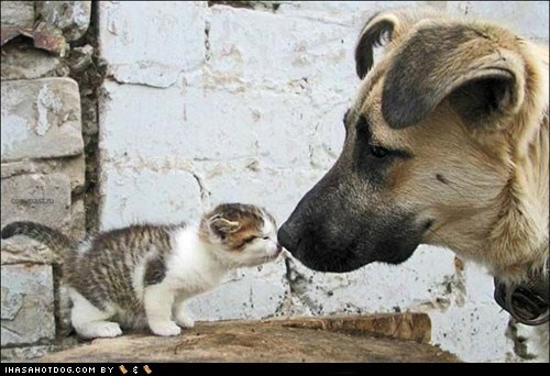 cat,dogs,kisses,kittehs r owr friends,kitten,what breed