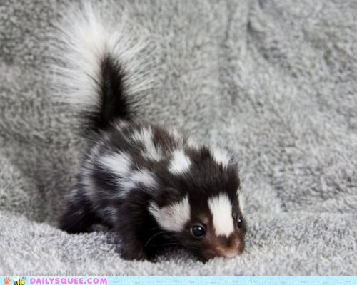 baby Fluffy skunk spots squee stripes