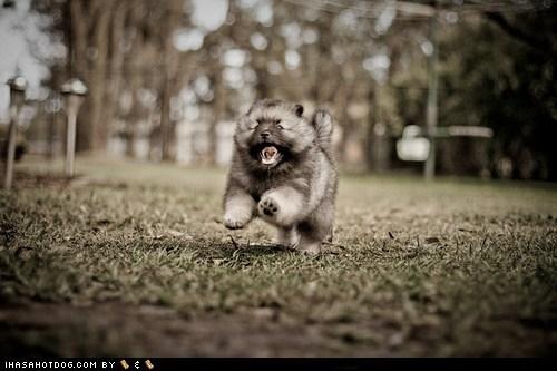 cyoot puppy ob teh day dogs Fluffy norwegian elkhound puppy running - 6417184768