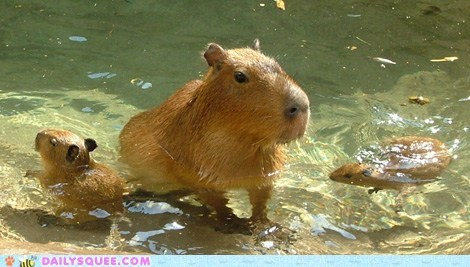 Babies capybara Hall of Fame mommy squee spree swimming water