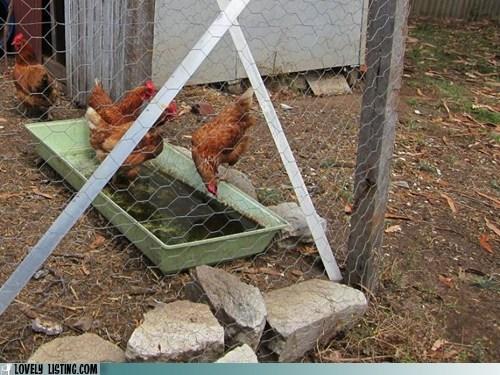 chickens listing yard - 6418279168