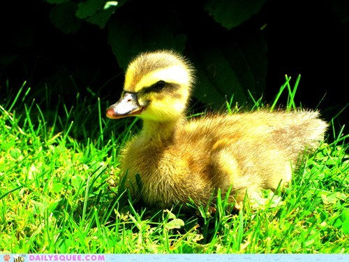 bird,duckling,grass,pet,reader squee,sunshine