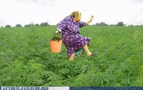field of weed marijuana field weed - 6419766016