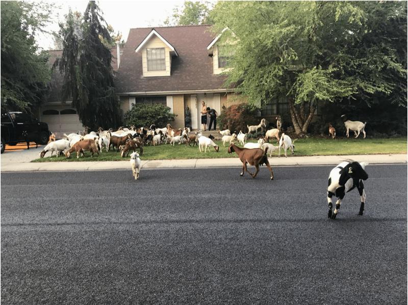 lolz wtf random goats lol funny weird animals - 6419973