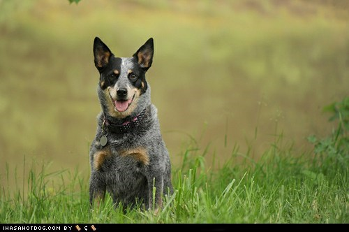 australian cattle dogs dogs face off goggie ob teh week - 6420311552