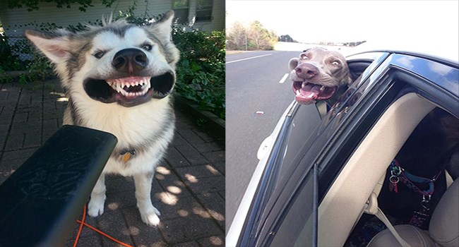dogs vs wind, dogs with wind in their faces, dogs smiling