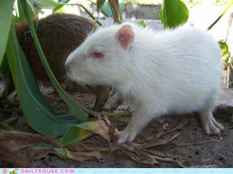 albino baby capybara rodent squee spree - 6420531200