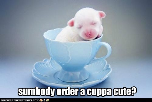 cup of tea dogs puppy tiny puppy what breed - 6422772224
