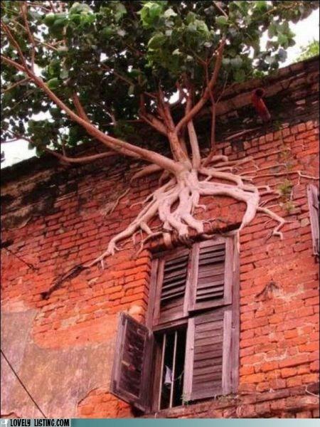 roots,tenacious,tree,wall