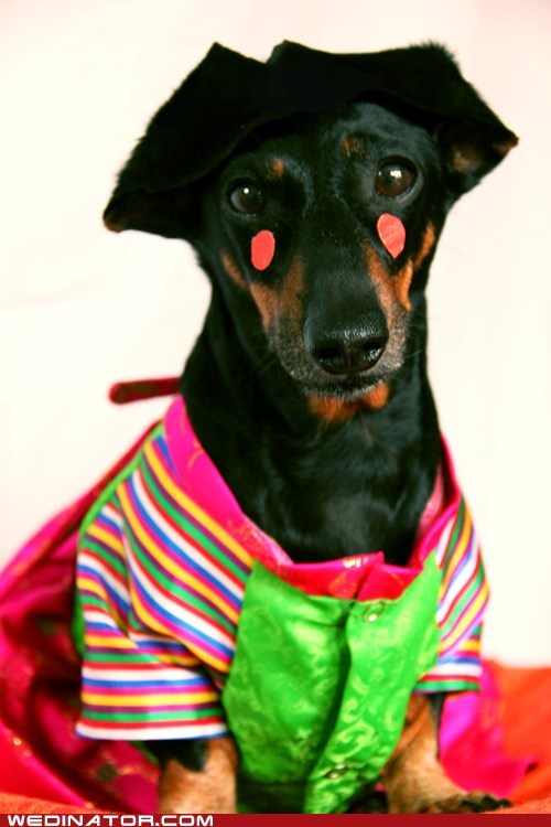 dogs,funny wedding photos,hanbok,korea,wedding dress