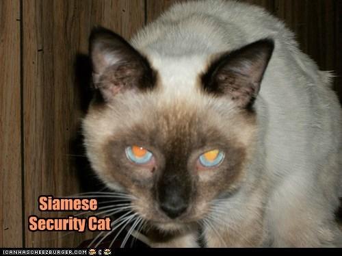 Siamese Security Cat
