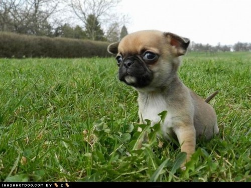 cyoot puppy ob teh day dogs grass puggle puppy - 6423549952