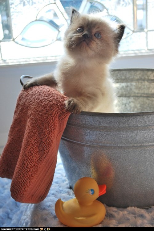 bath time,baths,buckets,Cats,cyoot kitteh of teh day,kitten,rubber duckies,towels