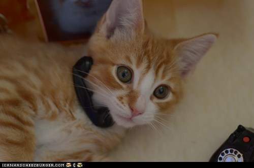 Cats,cyoot kitteh of teh day,hello,kitten,phones,telephones