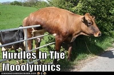 cows event FAIL hurdles mooo olympics stuck