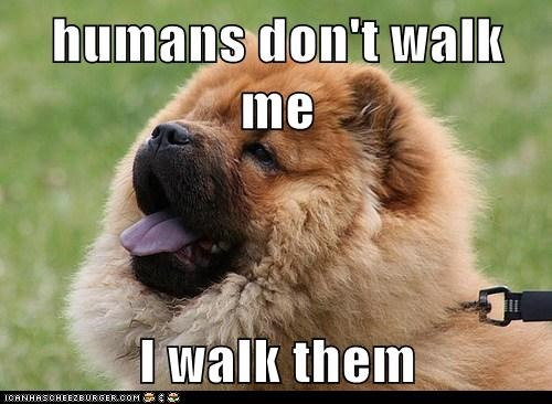 captions chow chow dogs Fluffy hoomins walk