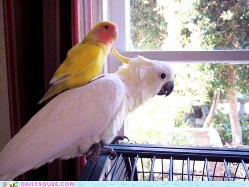 birds winter cockatoos squee parrot - 6427119872