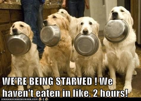 begging dogs food dish golden retriever starvation