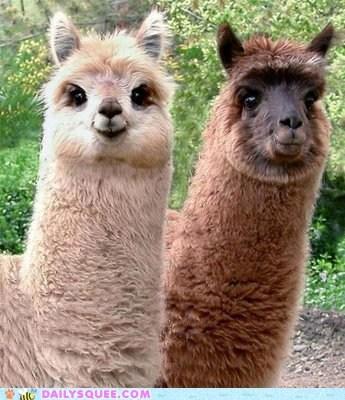 alpaca Fluffy smile squee squee spree victory winner - 6430769664