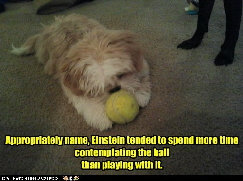 contemplation,dogs,einstein,science dog,shih tzu,tennis ball