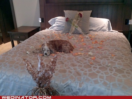 bed,dogs,funny wedding photos,honeymoon,hotel,rose petals