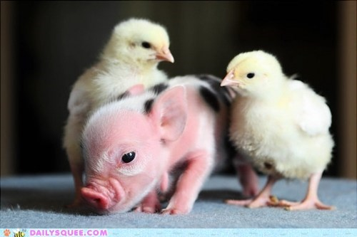 Babies chickens chicks Hall of Fame Interspecies Love piglet - 6431276032
