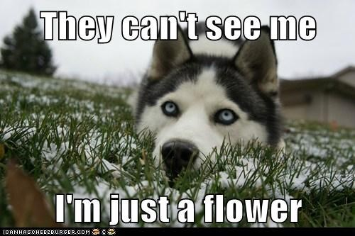 camouflage,dogs,Flower,grass,husky