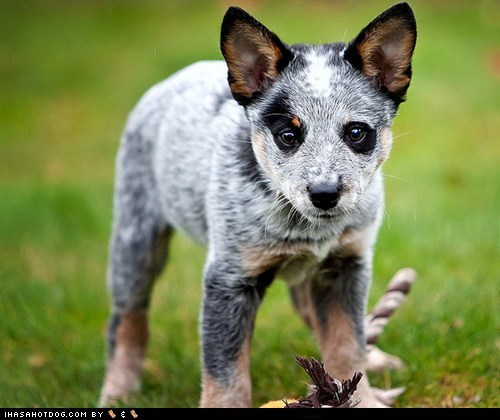 australian cattle dog dogs goggie ob teh week puppy - 6431635456