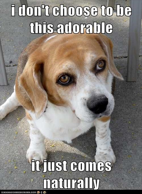 adorable,beagle,born this way,dogs,natural