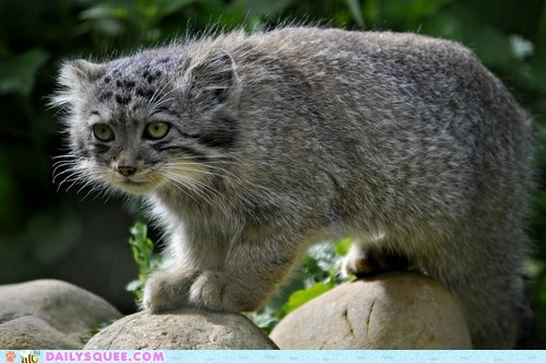 asia floofy jungle cat pallas cat whiskers wild cat - 6434105600