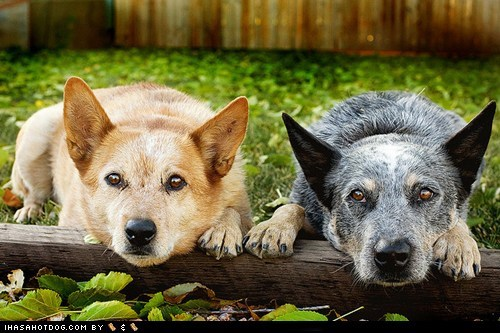 australian cattle dogs best friend dogs goggie ob teh week herding dog logs - 6434422016