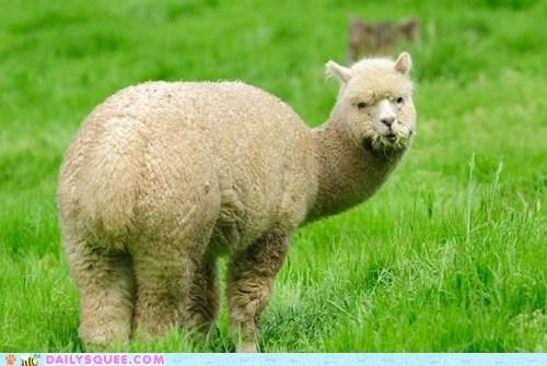alpaca,grass,nomnomnom,o hai,squee spree