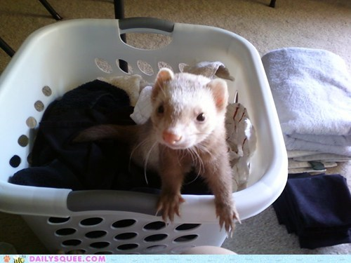 ferret,laundry basket,pet,reader squee,rodent