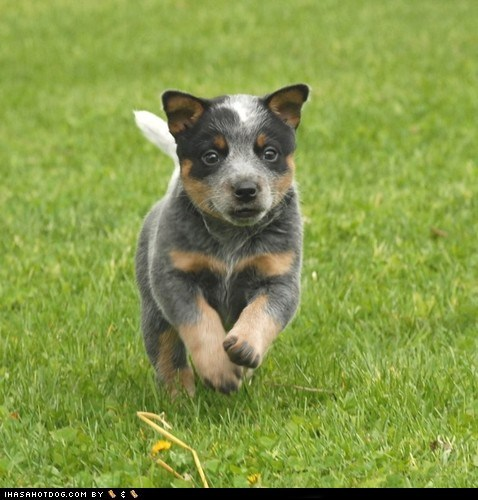 australian cattle dog dogs goggie ob teh week herding dog puppy - 6437472512