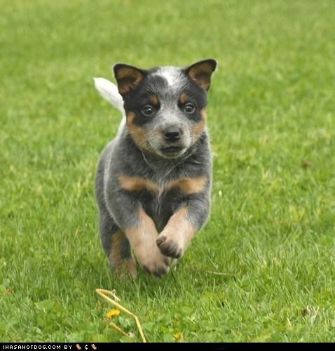 australian cattle dog goggie ob teh week herding dog puppy - 6437472512