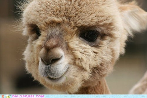 alpaca Fluffy puffball squee spree - 6437758464