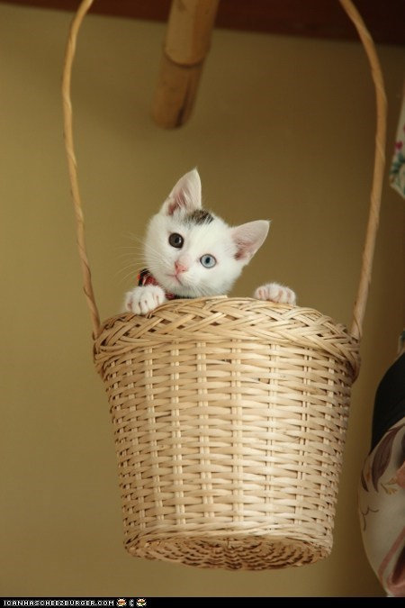 baskets Cats cyoot kitteh of teh day floating hanging heterochromia hot air balloons kitten