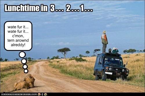 countdown lion lunchtime safari terror turn around waiting - 6440633856