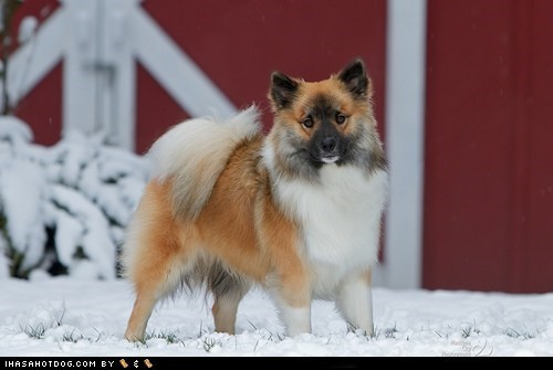 dogs,face off,goggie ob teh week,icelandic sheepdog,snow