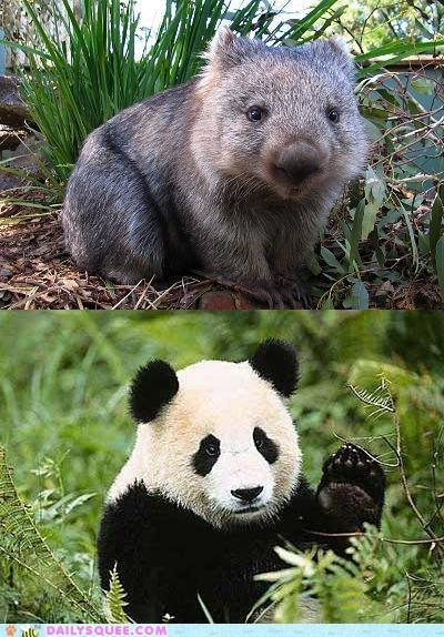 face off,panda,squee spree,versus,Wombat