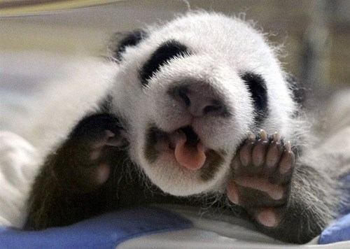 yawn,baby,panda,cub,tongue,sleepy,panda bears