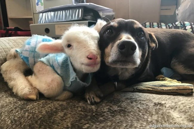 lamb and dog snuggling together