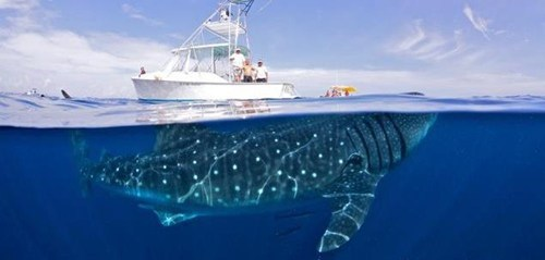 big fish,real photo,whale shark