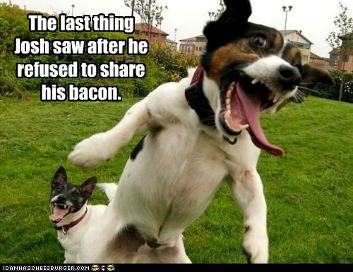 attack dog bacon crazy looking dogs what breed - 6446650368
