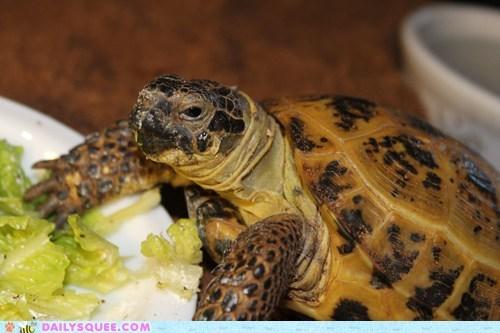 lettuce,pet,reader squee,tortoise,turtle