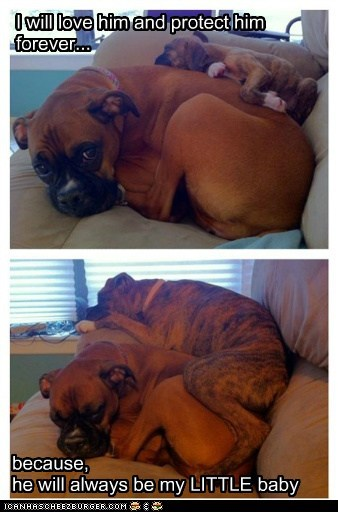 all grown up baby best of the week boxer captions cuddles dogs forever my baby puppy - 6452585728